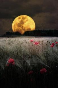 nuits fleurs rouges