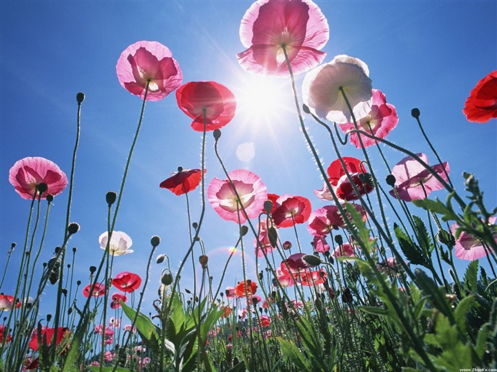 Sun_flowers_pink_blue_sky_widescreen_HD_wallpaper_medium.jpg