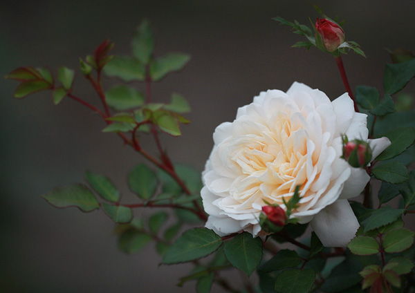 Rosa-'Crocus-Rose'.jpg
