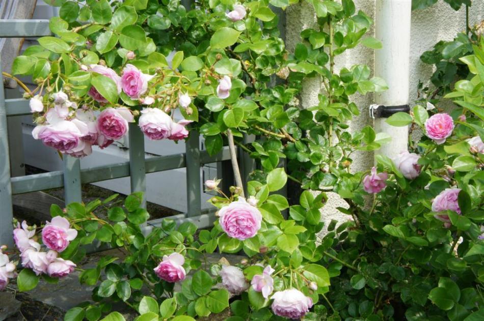 roses murailles